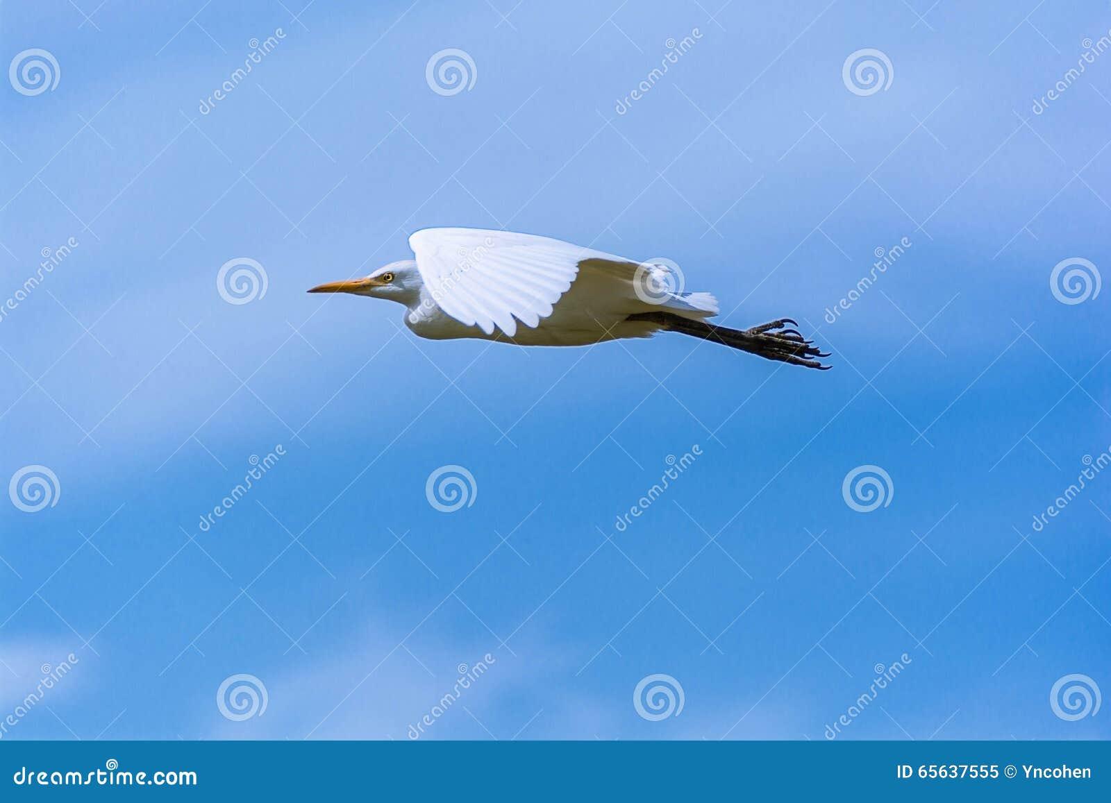 Vol d oiseau de héron