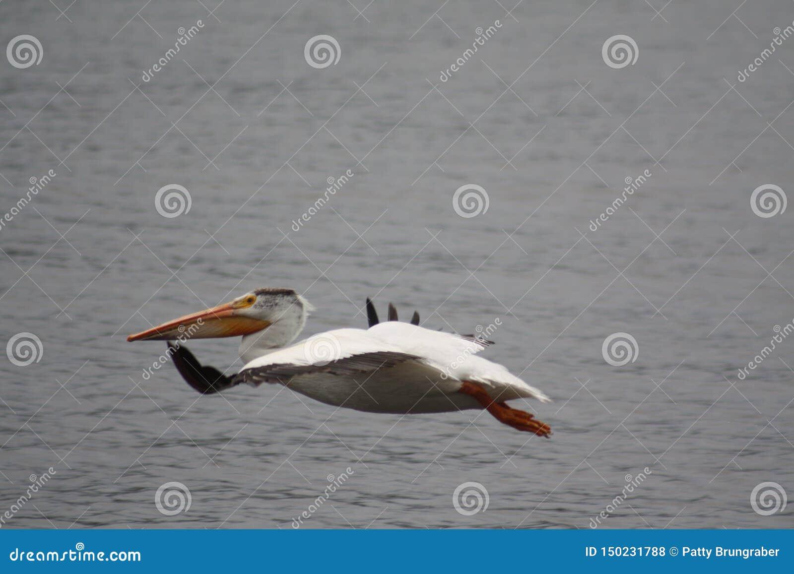 Vol d oiseau de pélican