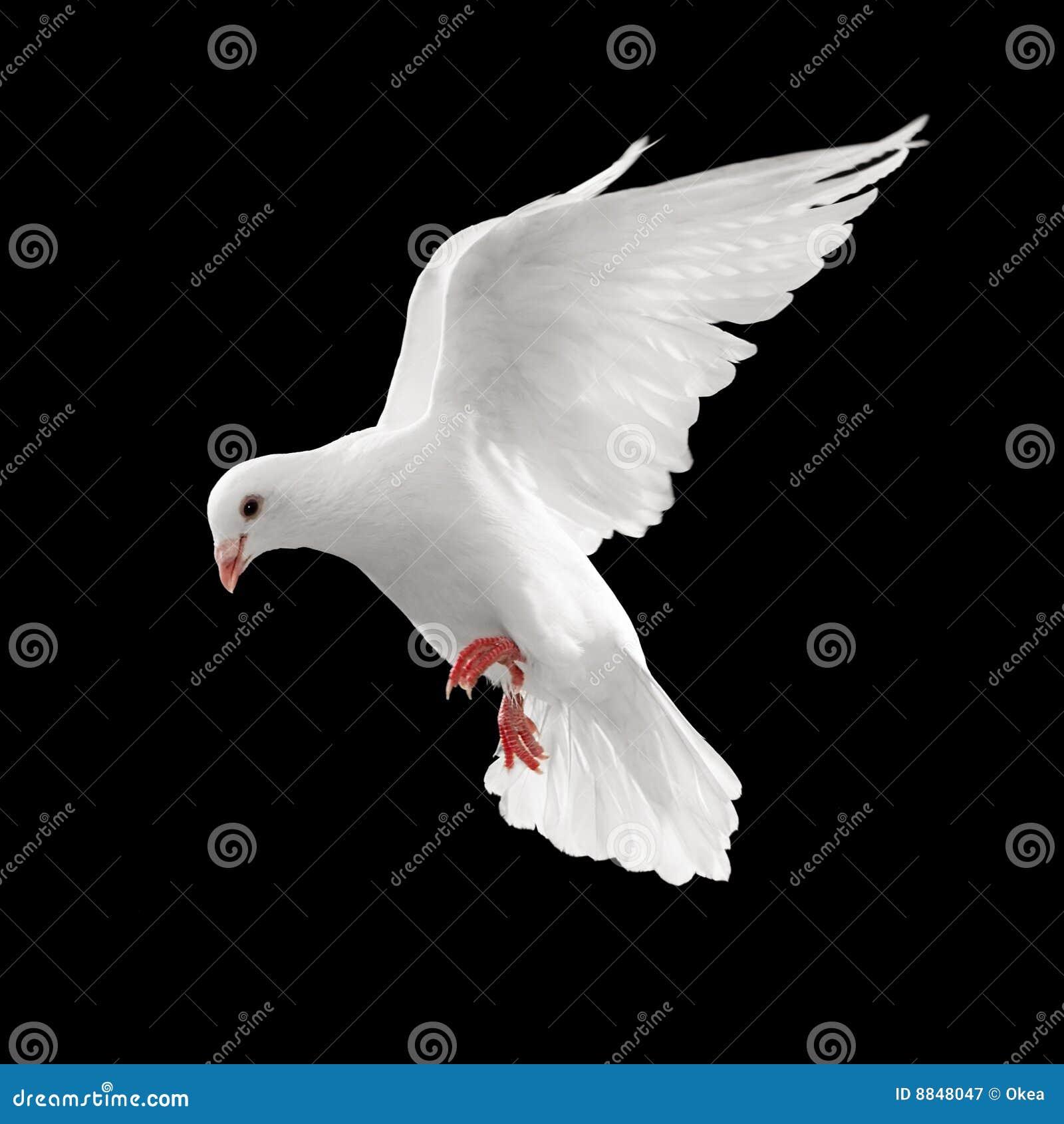 Vol de colombe