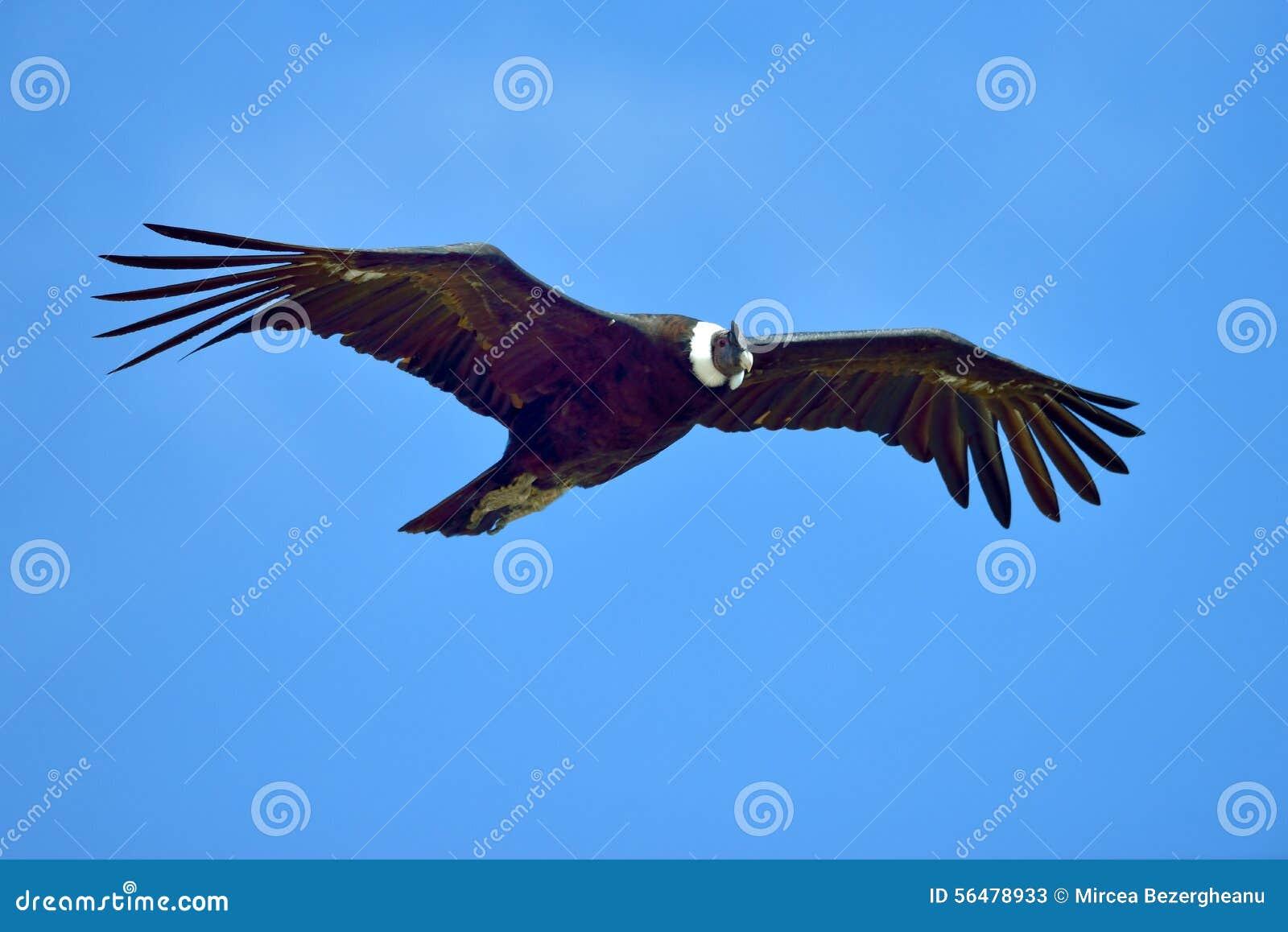 Vol de condor andin (gryphus de Vultur)