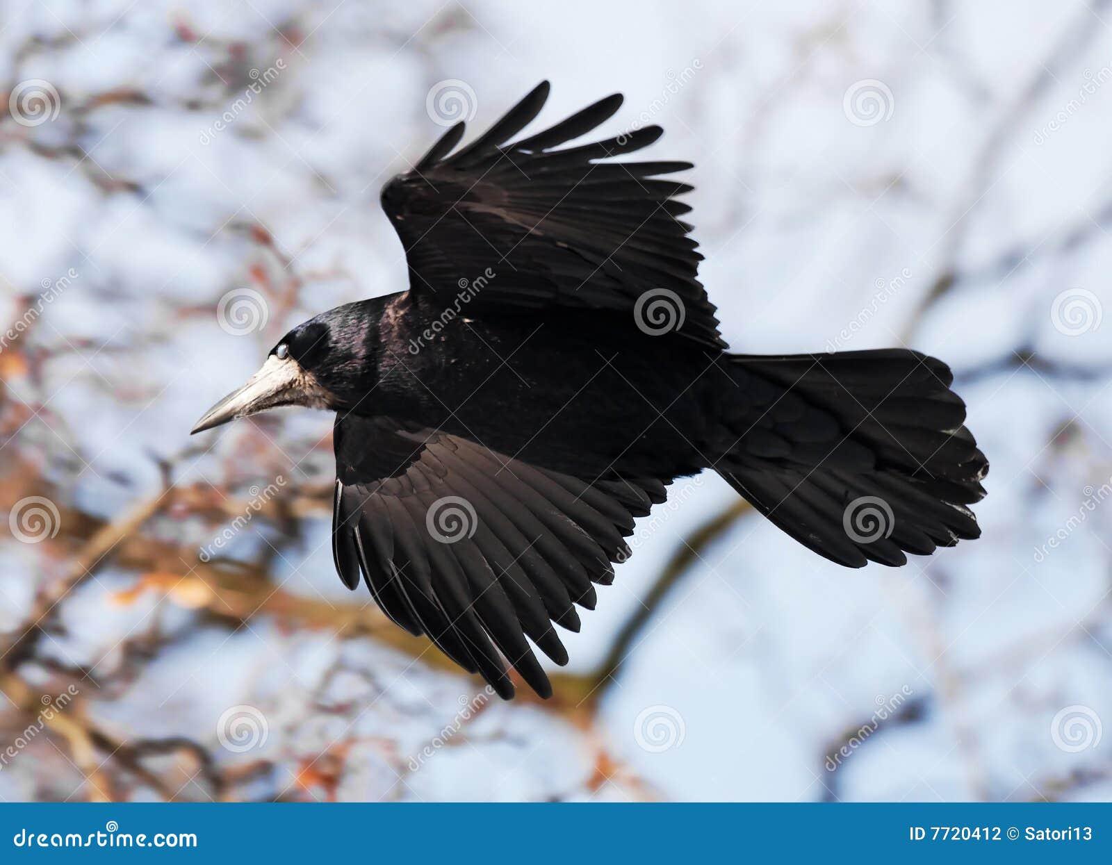 Vol de corneille