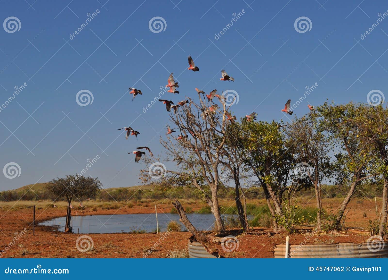Vol De Galahs Hors D\'arbre En Trou D\'eau D\'Australien à L\'intérieur ...