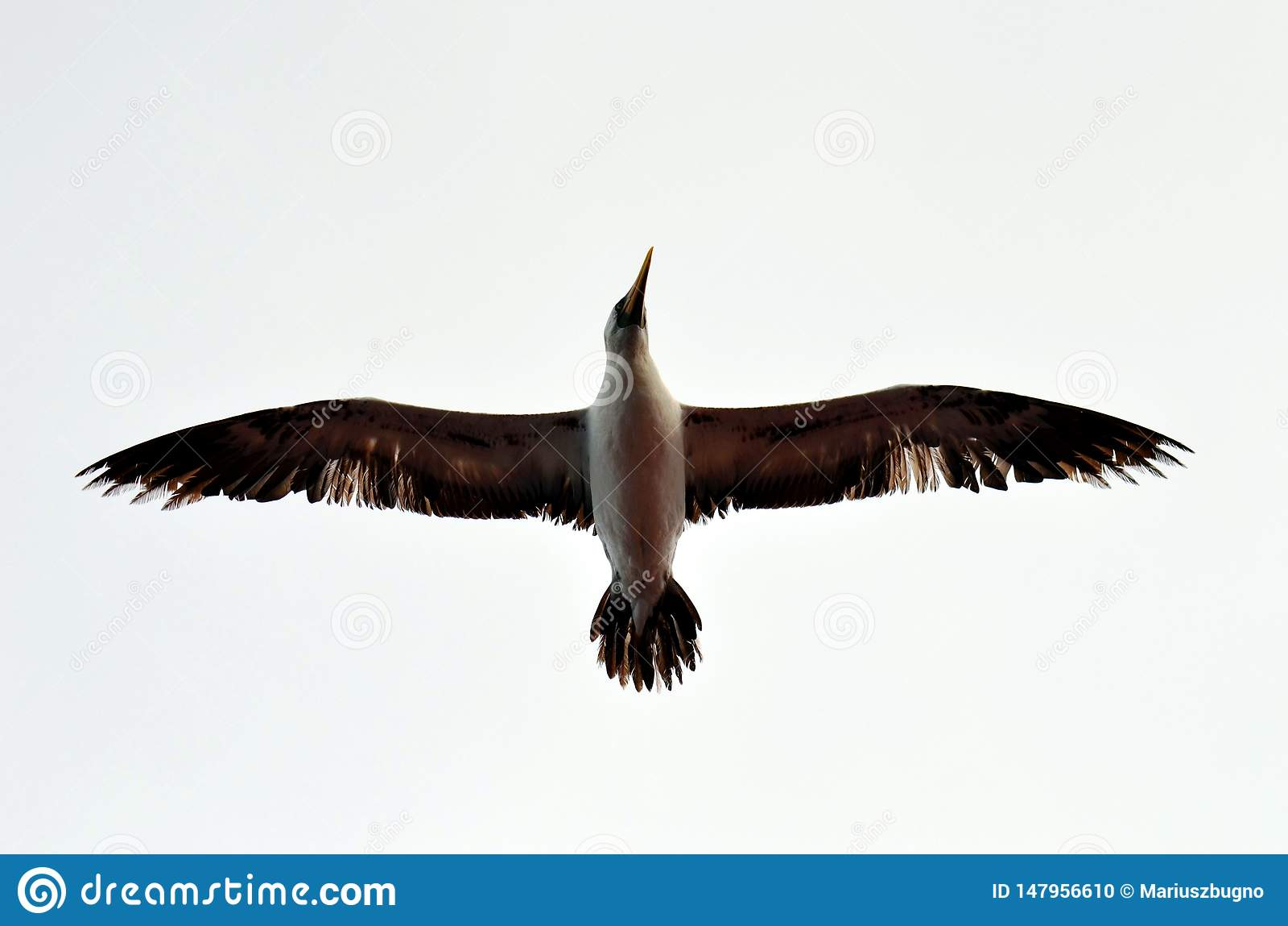 Vol de l oiseau marin au-dessus de l oc?an calme