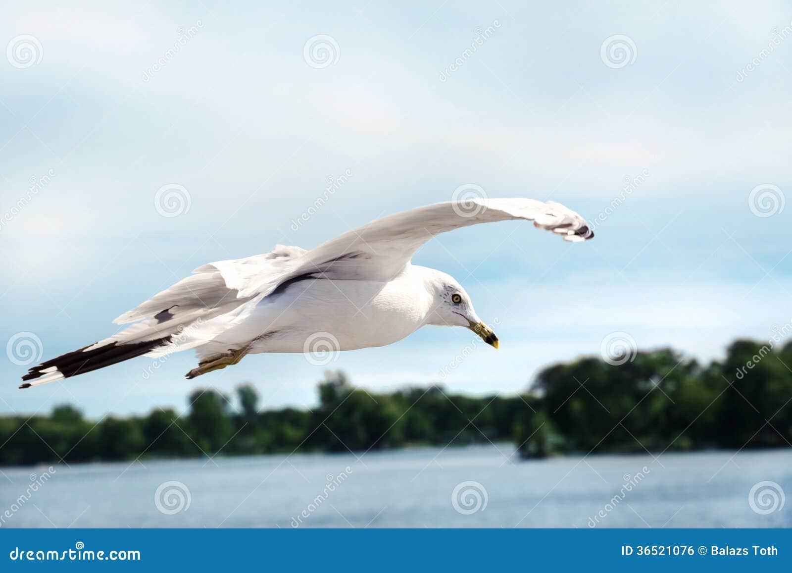 Vol de mouette dans le ciel