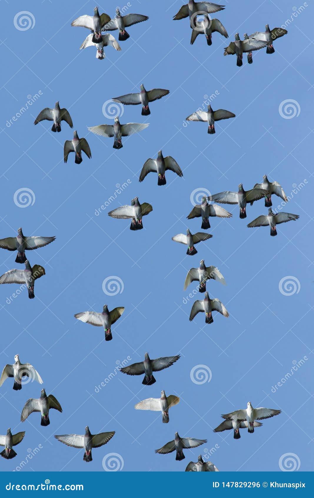 Vol?e du vol d oiseau de pigeon d emballage de vitesse sur le fond blanc