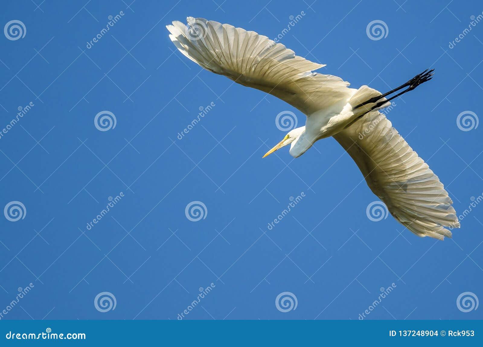Vol grand de héron dans un ciel bleu