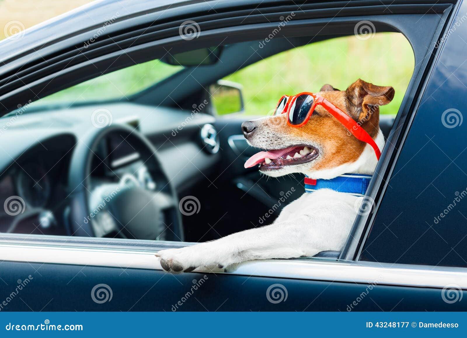 volant-de-voiture-de-chien-43248177
