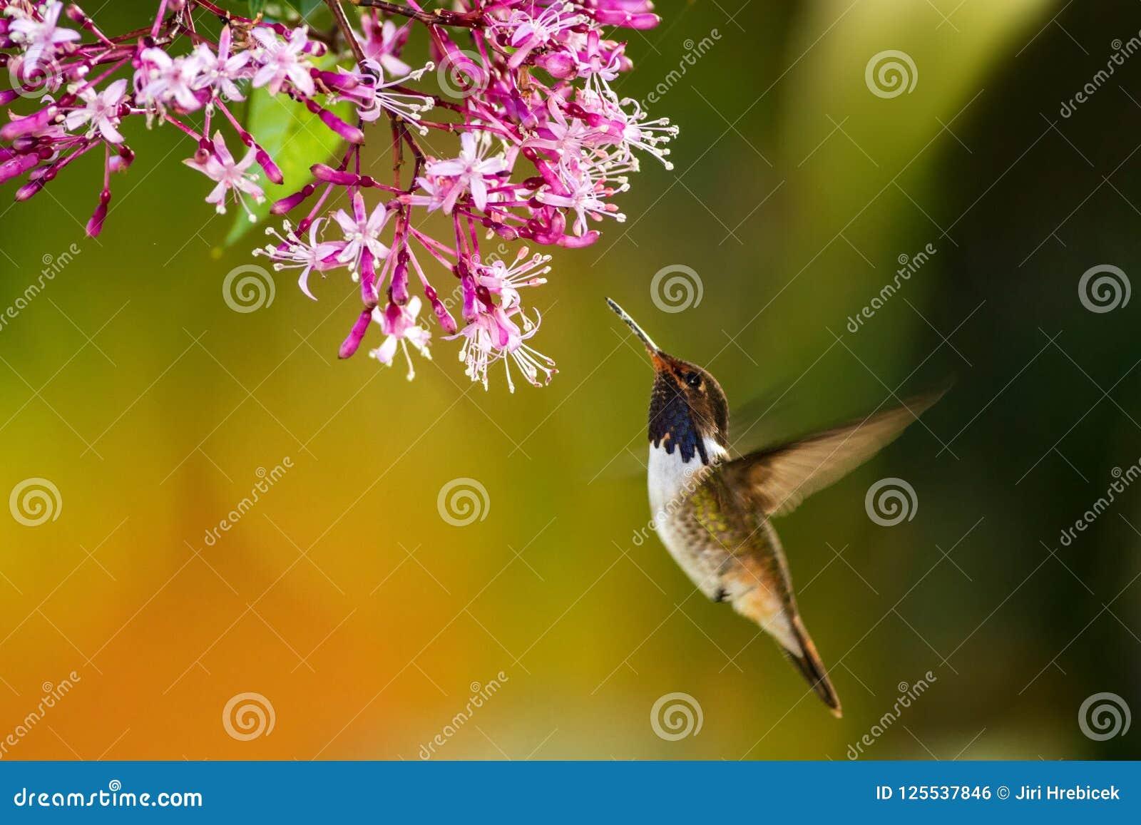 Volcano Hummingbird som svävar bredvid rosa färger, blommar i trädgården, fågel från den tropiska skogen för berget, Savegre, Cos