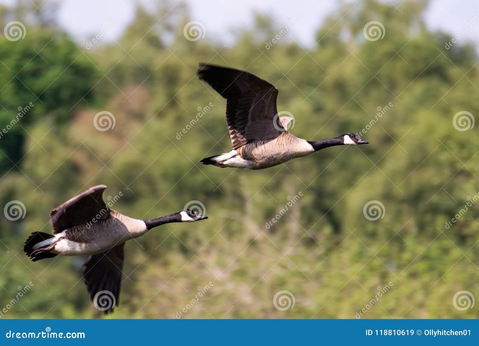 Voler de deux oies du Canada