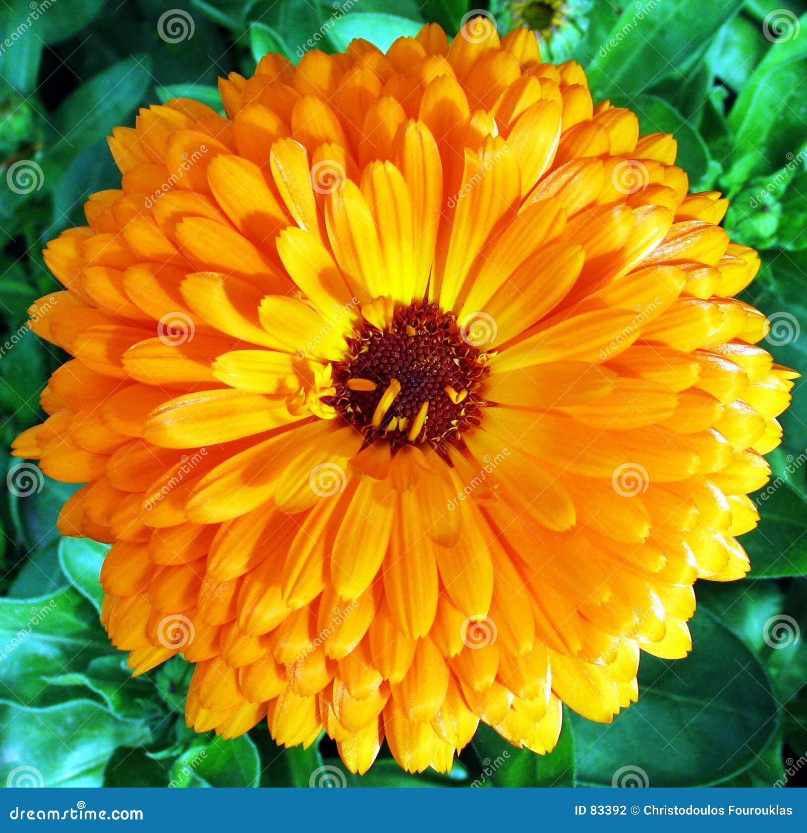 Volle Blüte