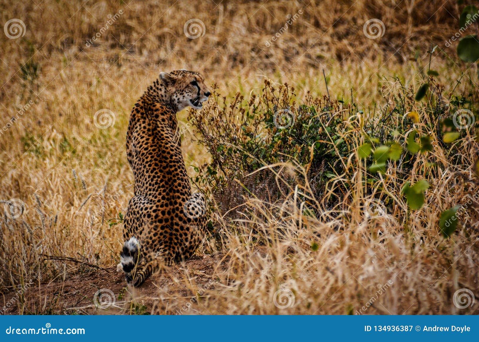 Volledige achtermening van de vlekken en het kleuren van de jachtluipaard terwijl het in het Nationale Park Tanzania van Tarangir
