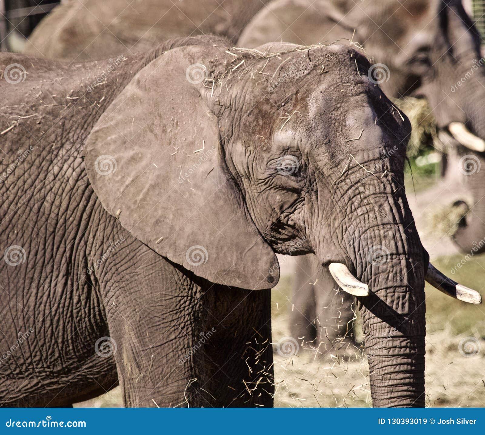 Voller gewachsener Elefant