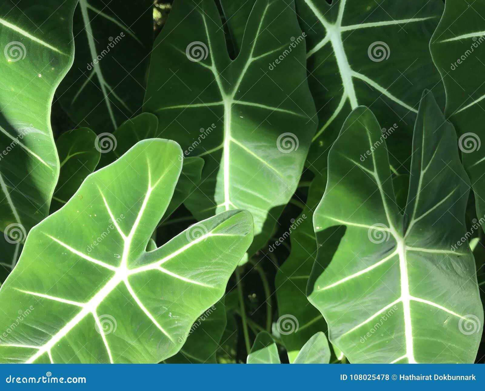 Voller Rahmen von hellgrünen Blättern der Elefantenohranlage