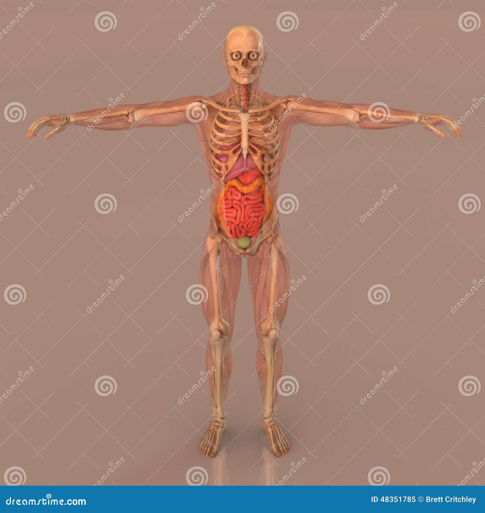 Volles Körperskelett Der Menschlichen Anatomie Stock Abbildung ...