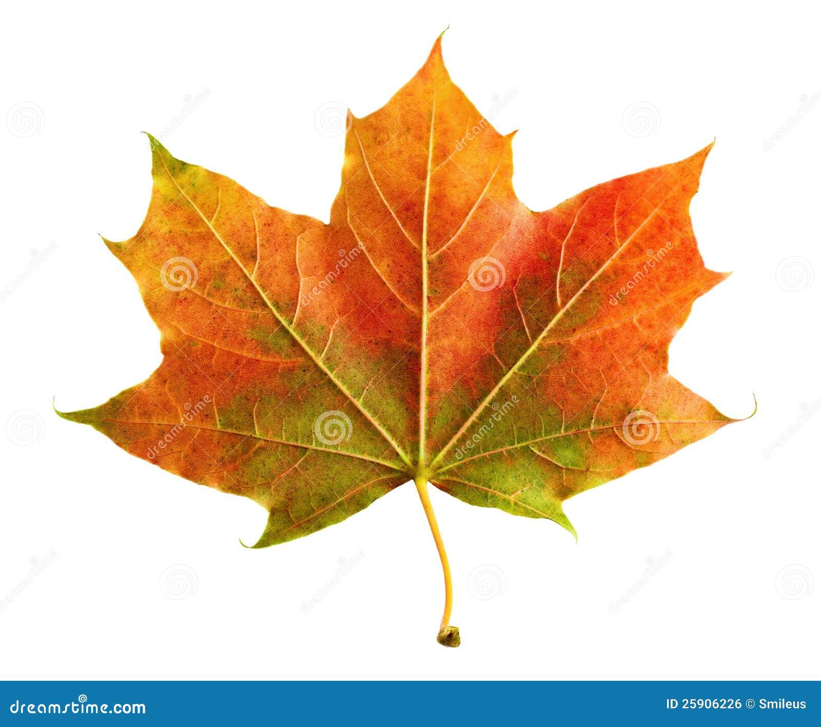 vollkommenes buntes herbstblatt stockfoto bild 25906226 maple leaf vector art maple leaf vector file