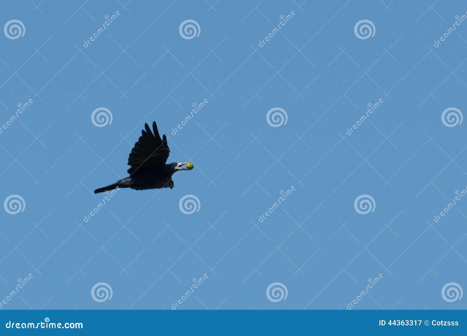 Volo del corvo con una frutta in suo becco