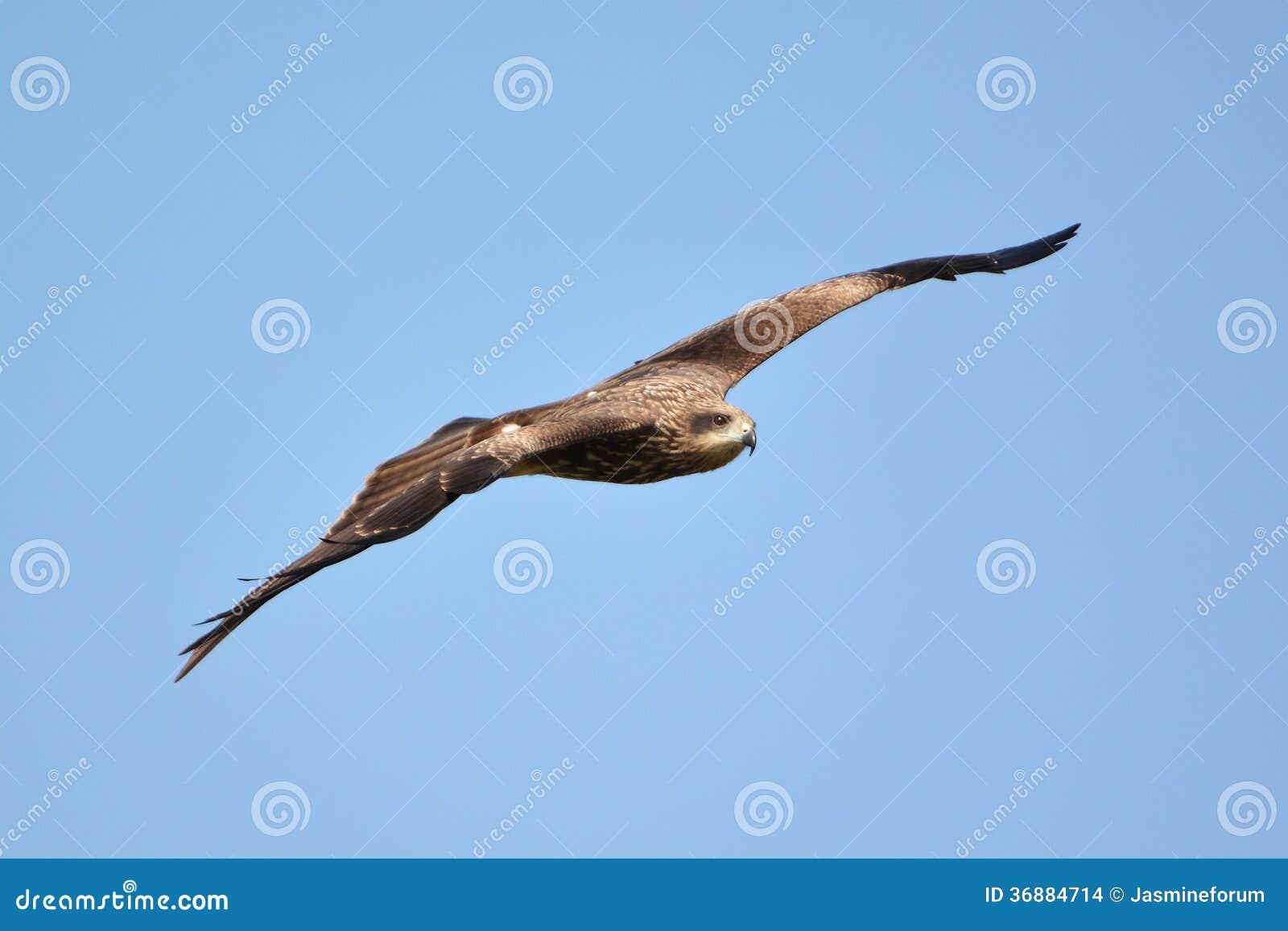 Download Volo del falco fotografia stock. Immagine di hawk, vigilanza - 36884714