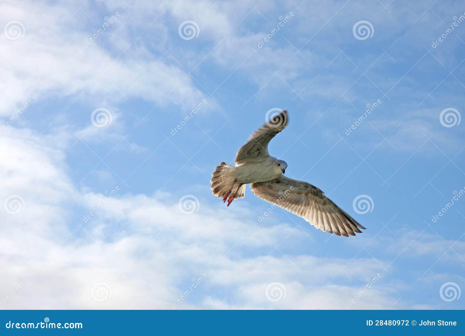 Volo del gabbiano
