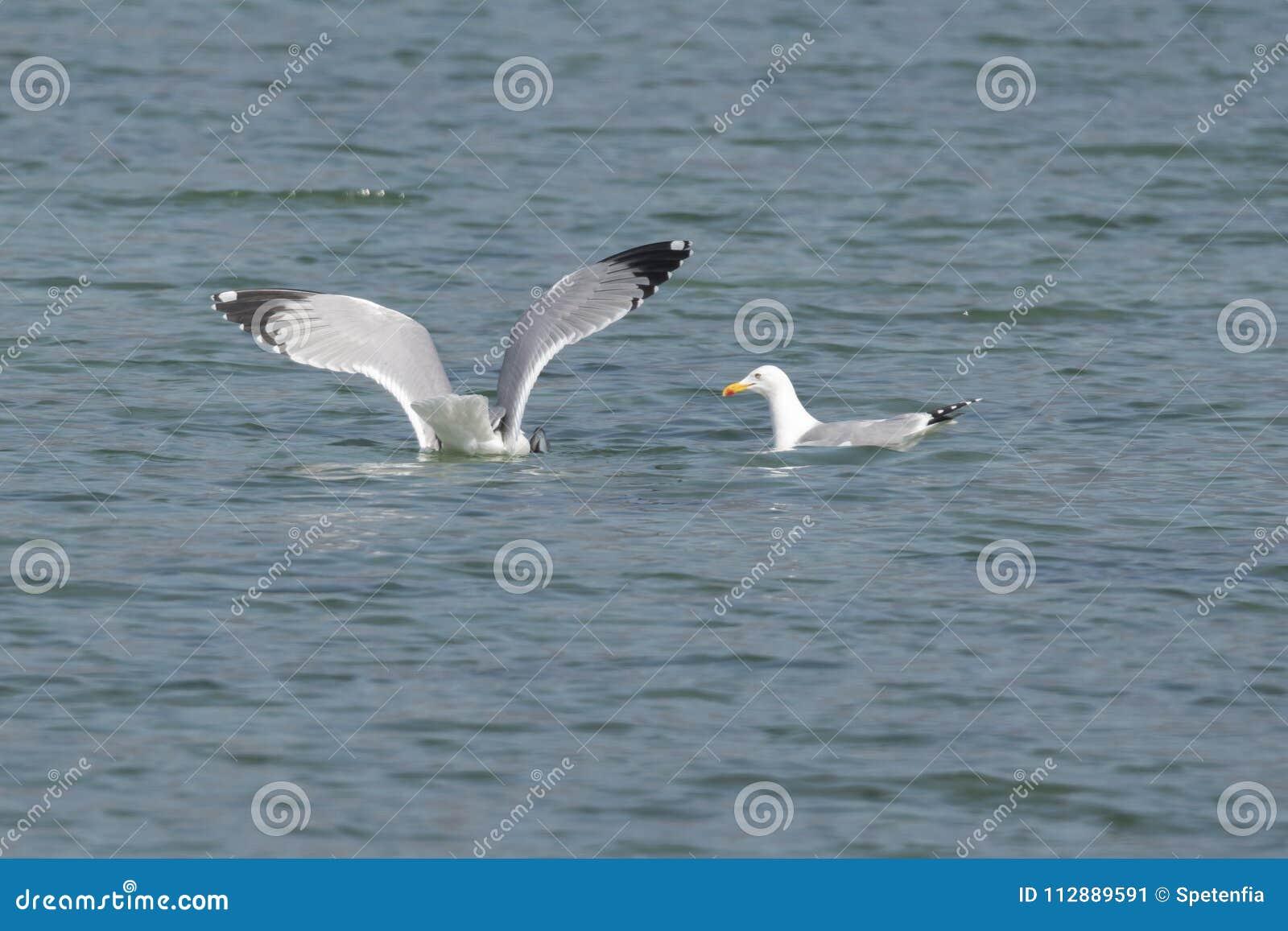 Volo del gabbiano sul lago
