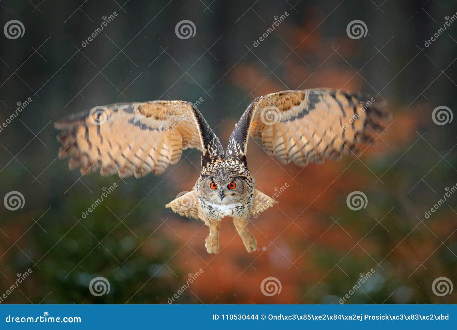 Volo del gufo reale nel gufo reale di volo della foresta con le ali aperte in habitat con gli alberi, mosca dell uccello La scena