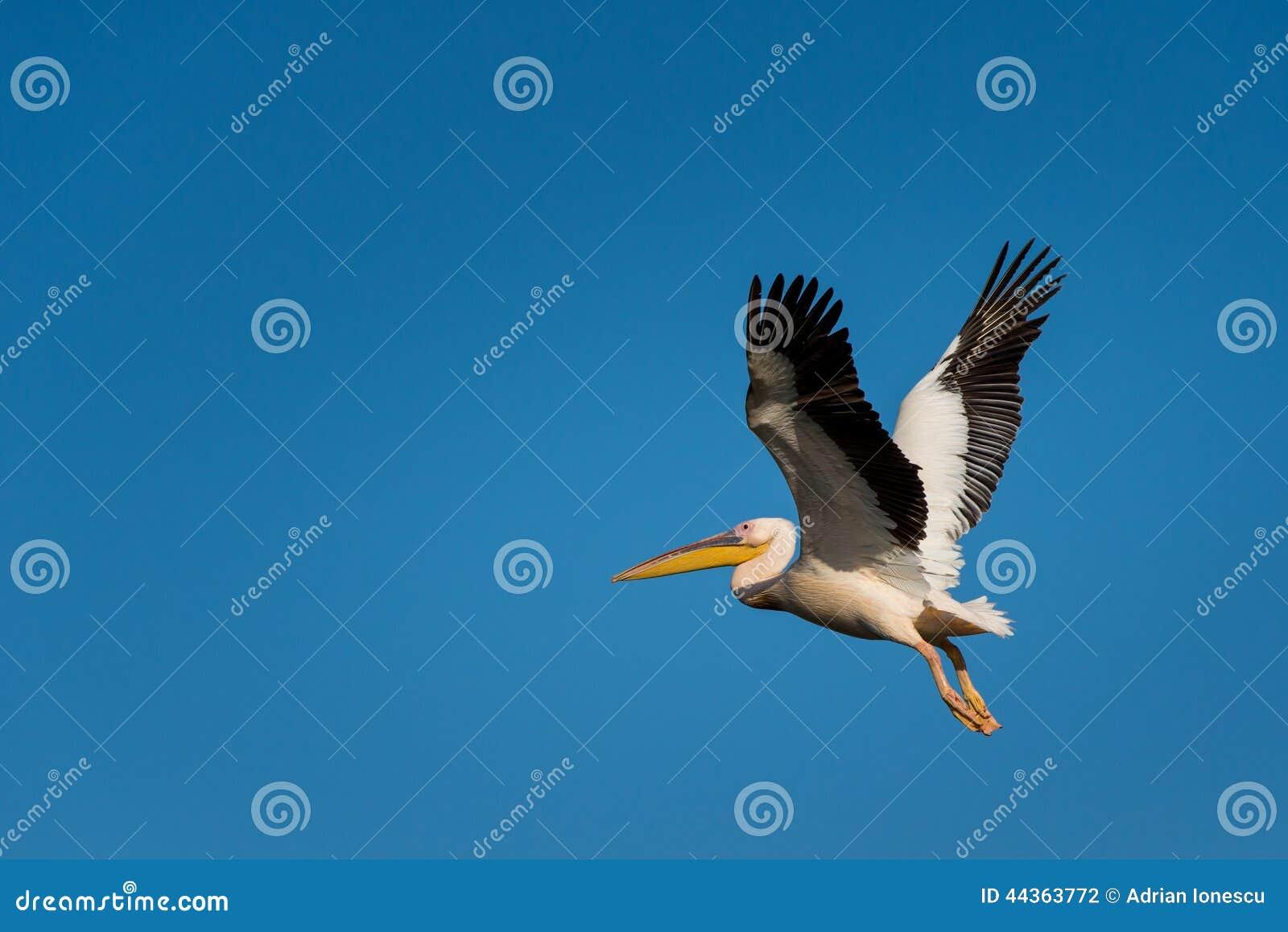 Volo del pellicano