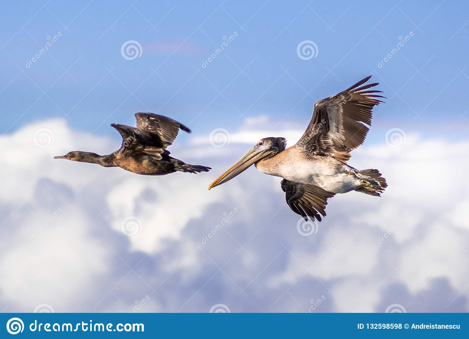 Volo del pellicano e del cormorano di Brown; nuvole e sedere bianche del cielo blu