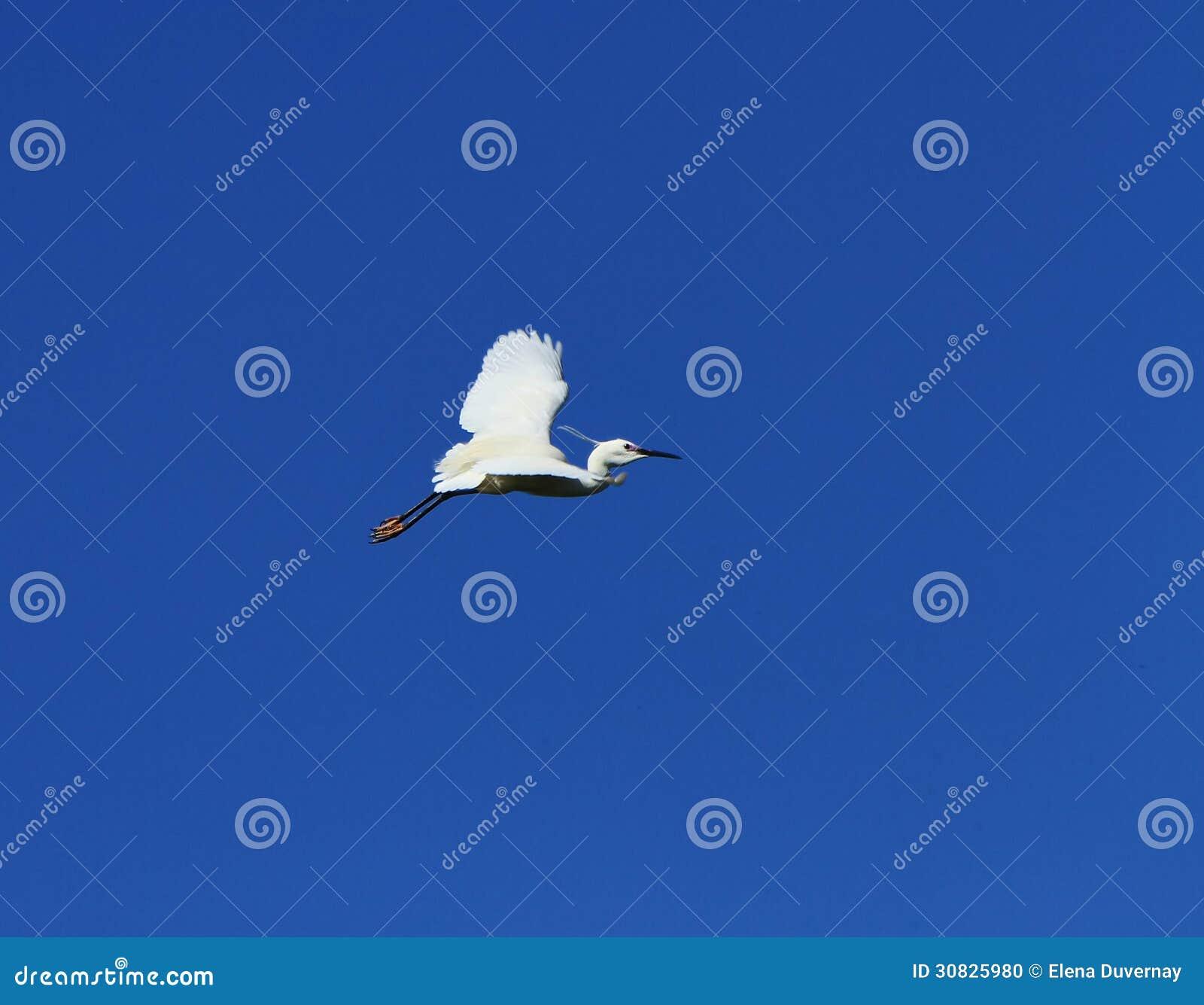 Volo dell uccello dell egretta