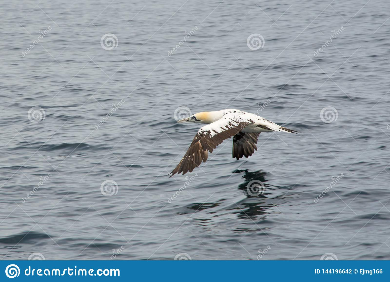 Volo nordico di bassanus del Morus di sula