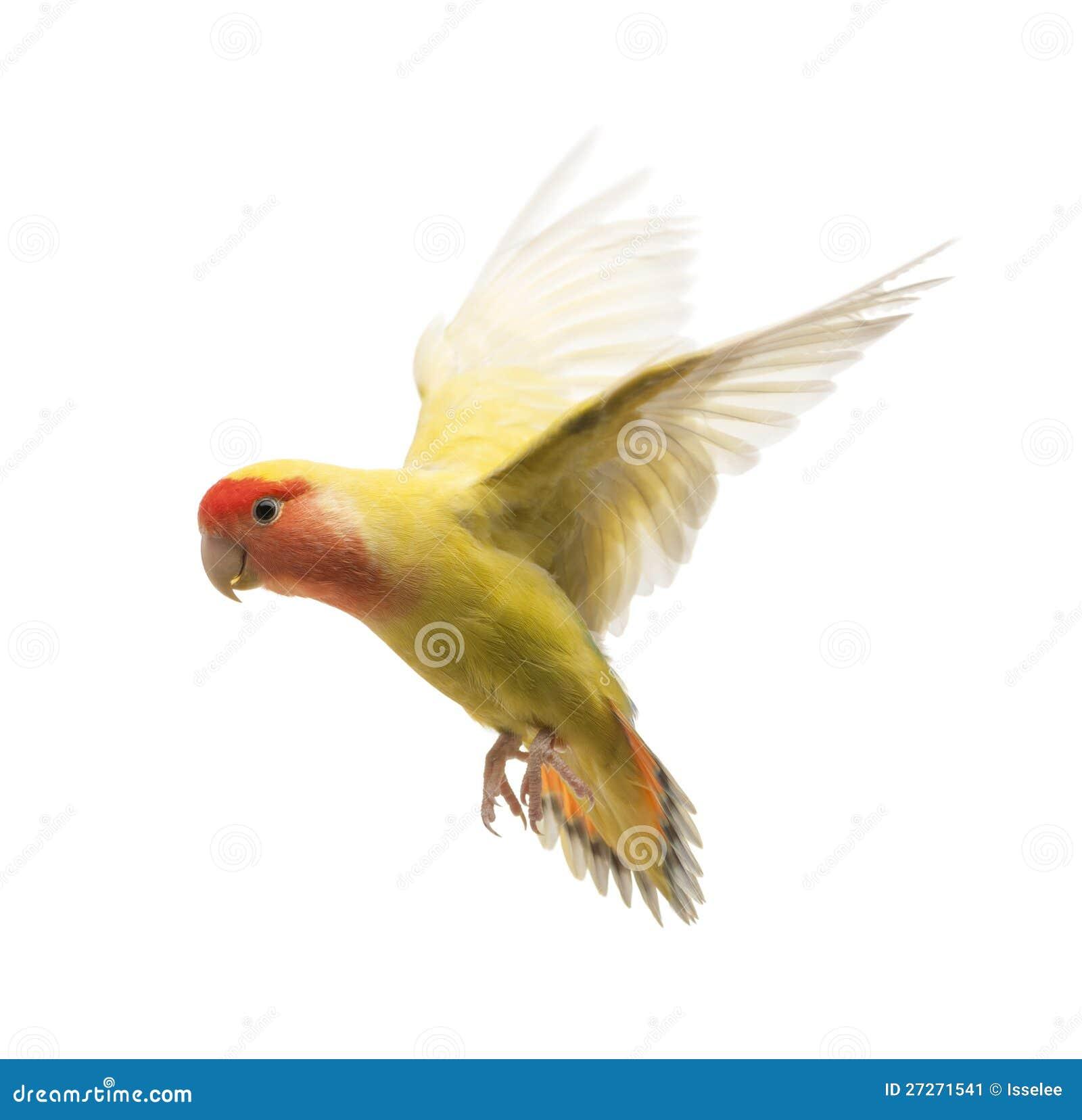 Volo Ottimistico-affrontato del Lovebird