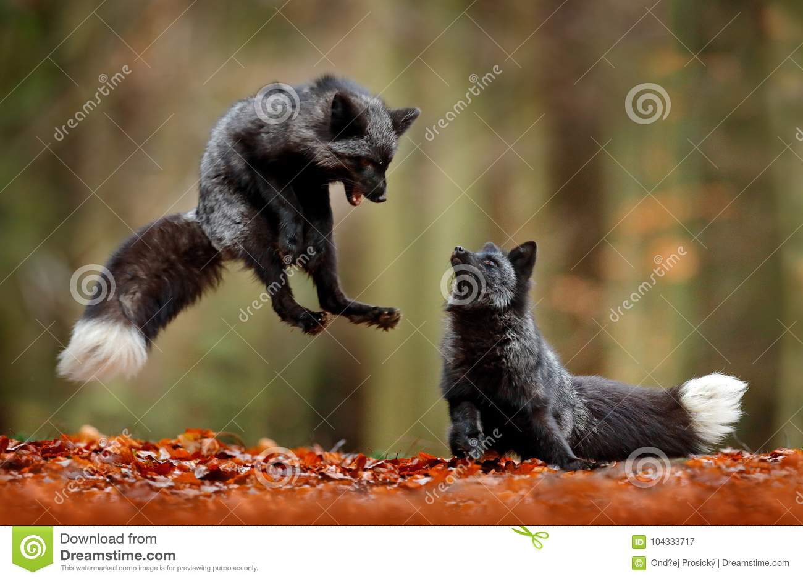 Volpe d argento nera La volpe rossa due che gioca nella foresta di autunno animale salta in legno di caduta Scena della fauna sel