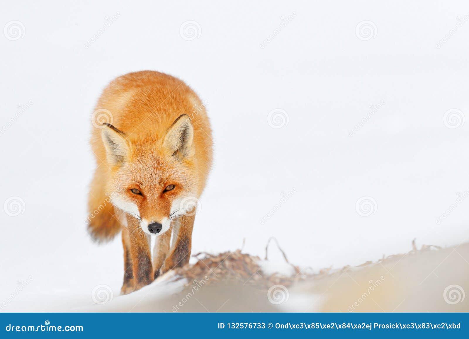 Volpe rossa in neve bianca Inverno freddo con la volpe arancio della pelliccia Animale nel prato nevoso, Giappone di caccia Bello