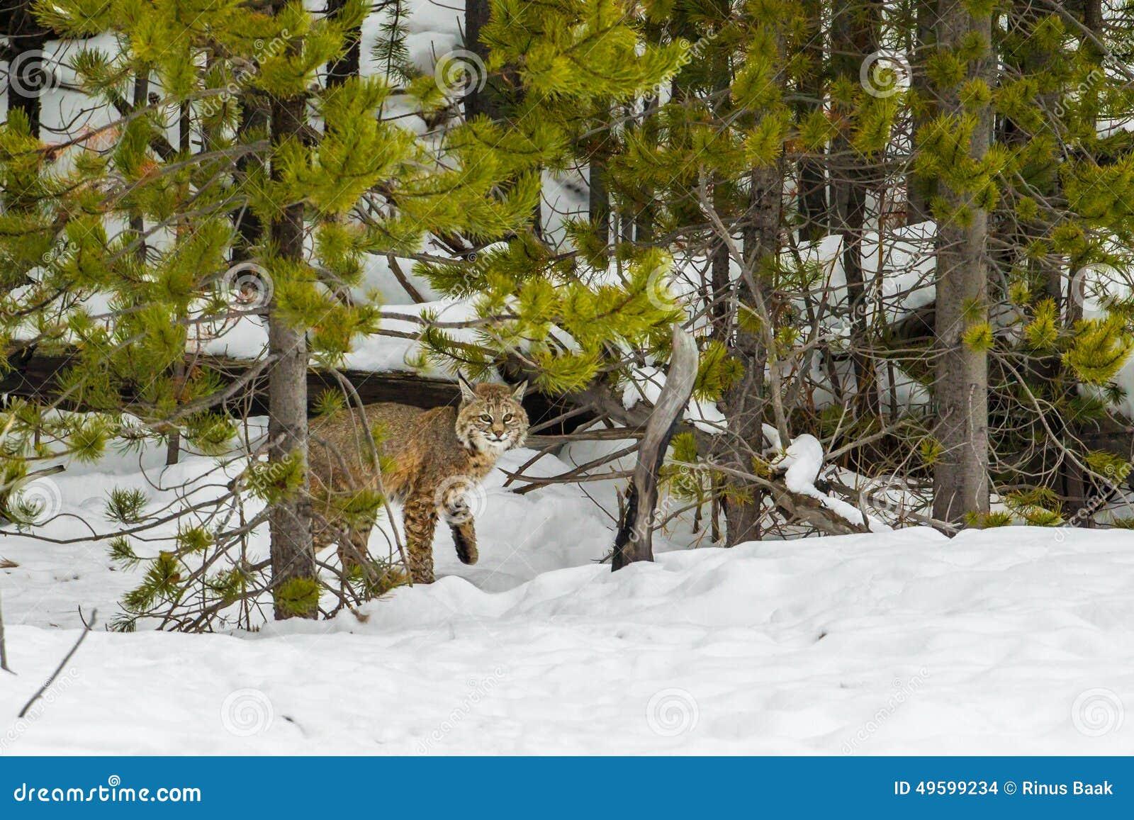 Volwassen Bobcat