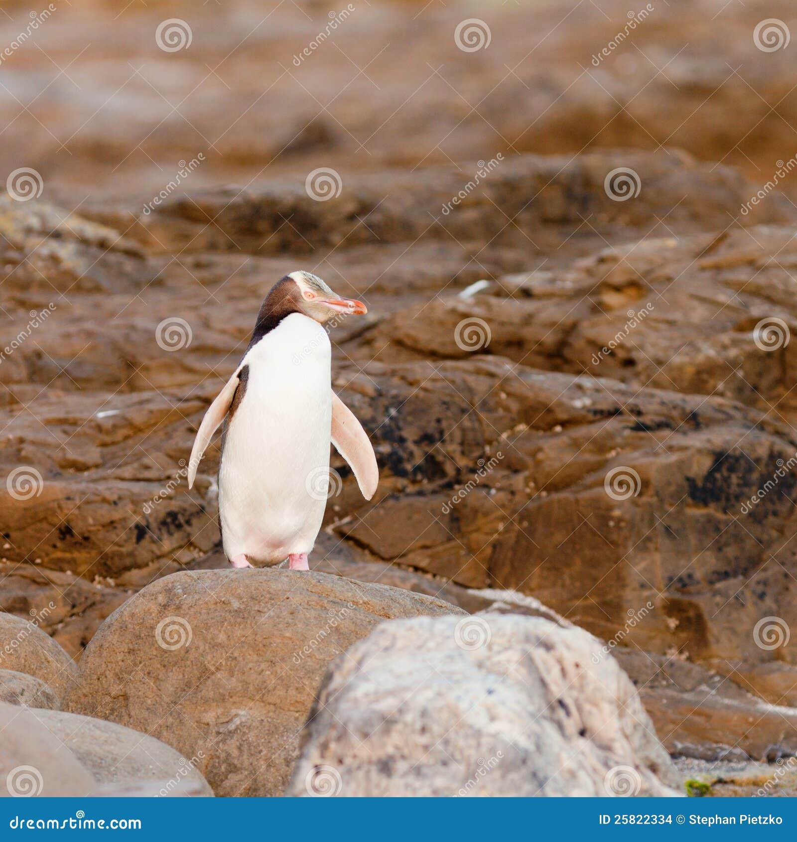 Volwassen geel-Eyed Pinguïn NZ of Hoiho op kust