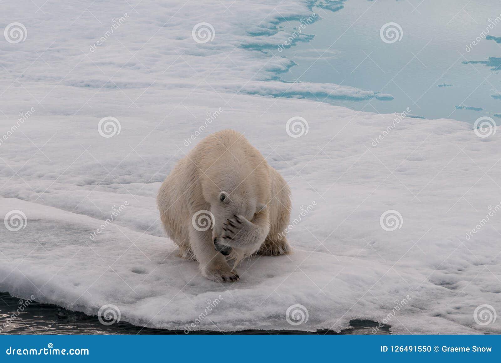 Volwassen Ijsbeer die zijn gezicht, Svalbard behandelen