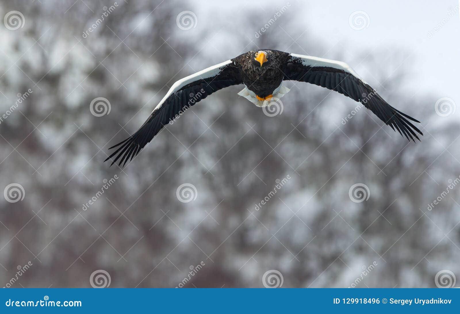 Volwassen overzeese van Steller ` s adelaar tijdens de vlucht De achtergrond van de de winterberg