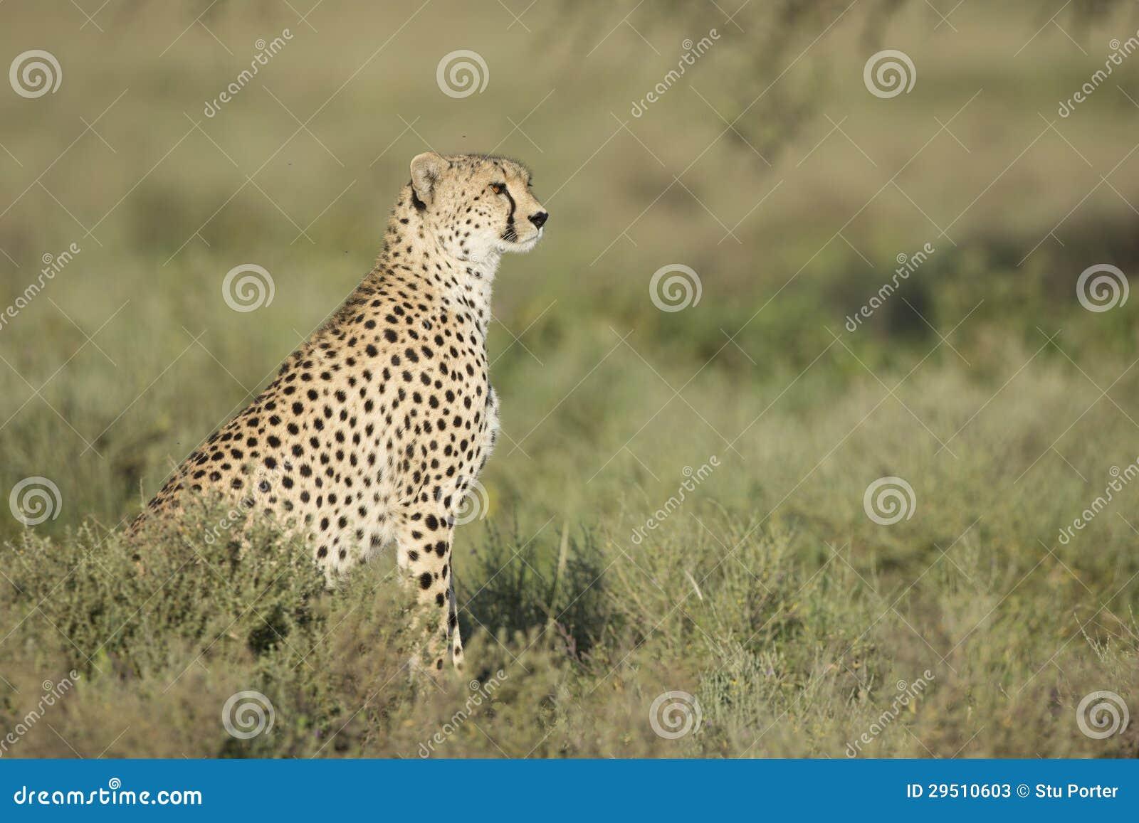 Volwassen Vrouwelijke Jachtluipaard (jubatus Acinonyx) Tanzania