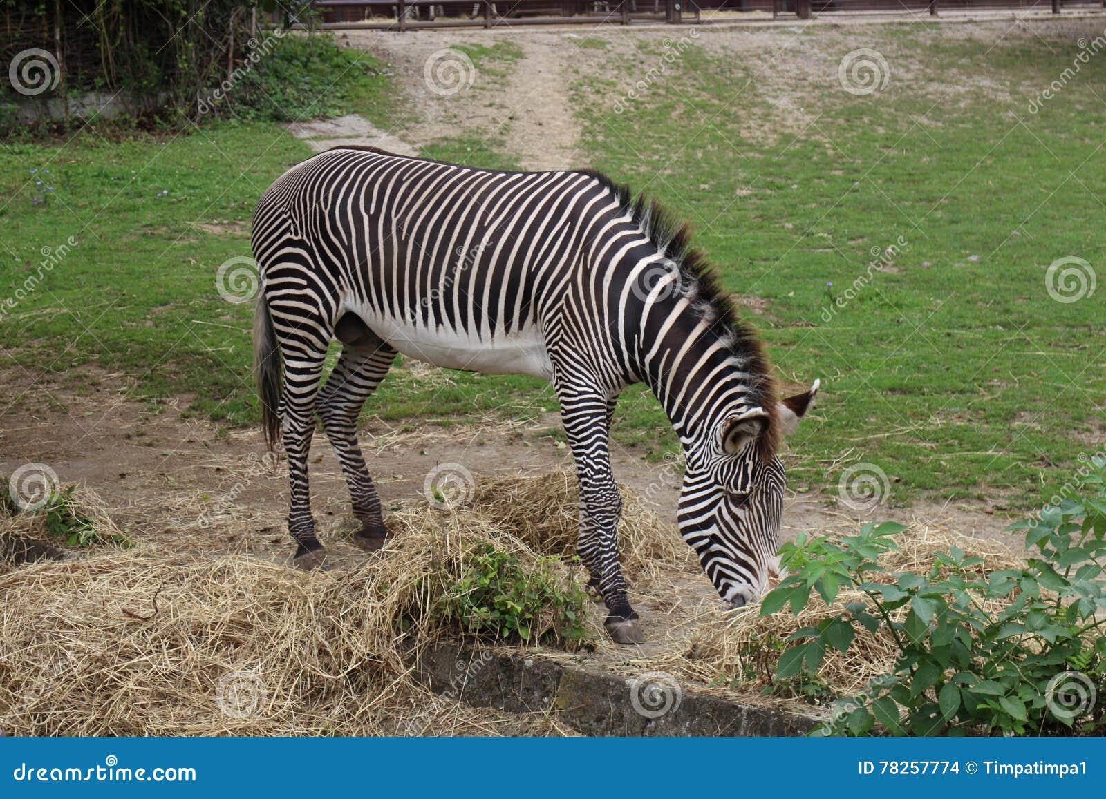 Volwassen zebra in dierentuin
