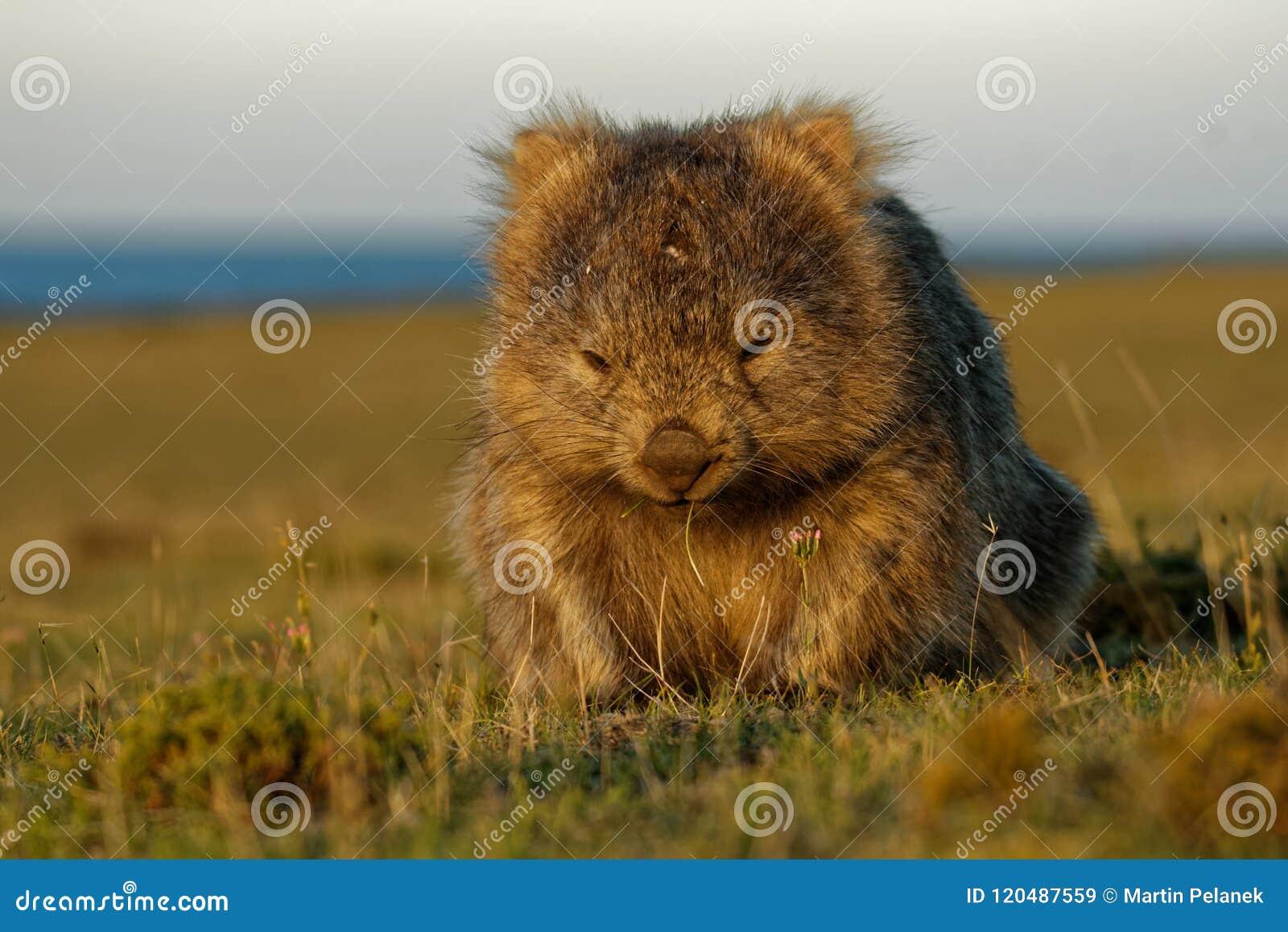 Vombatus-ursinus - allgemeines Wombat in der tasmanischen Landschaft, Gras am Abend auf der Insel nahe Tasmanien essend