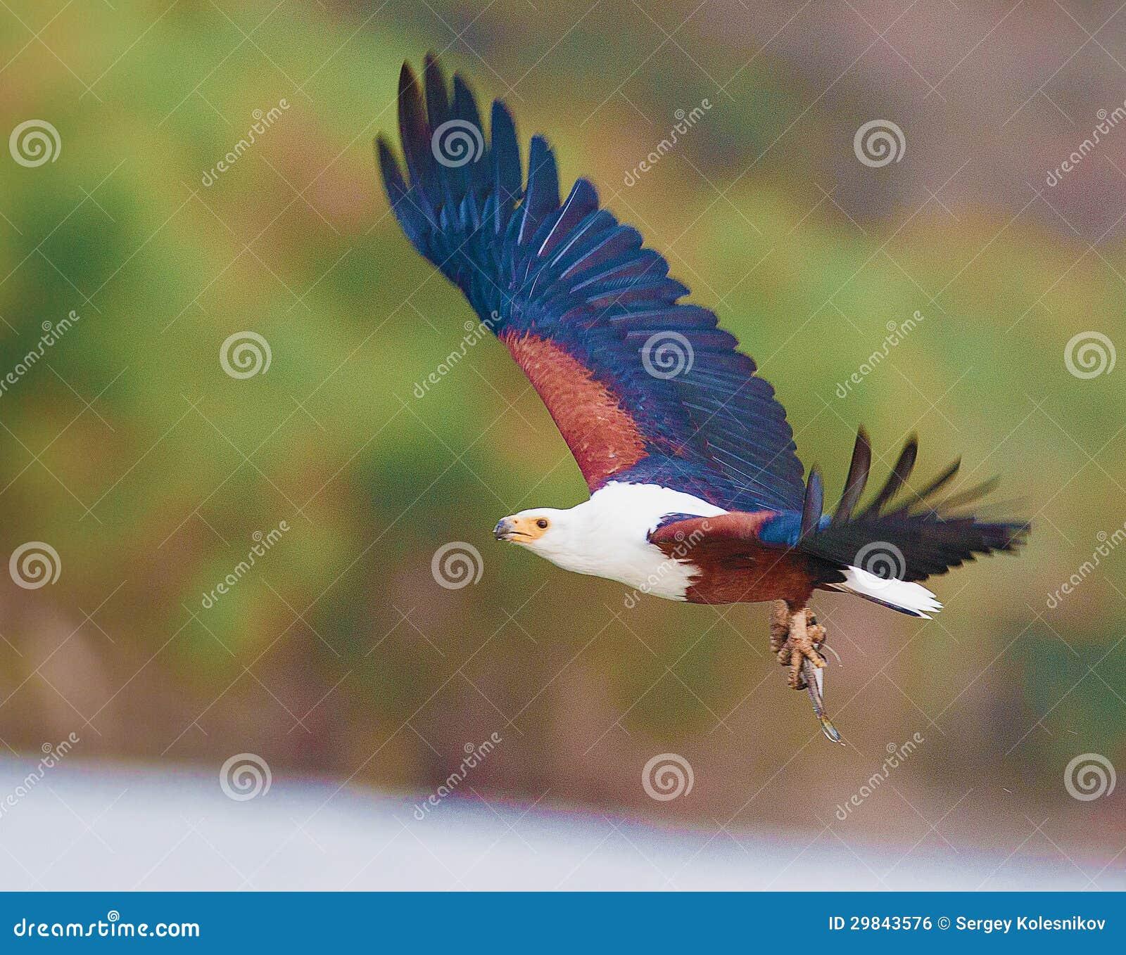 Voo africano de Eagle de peixes