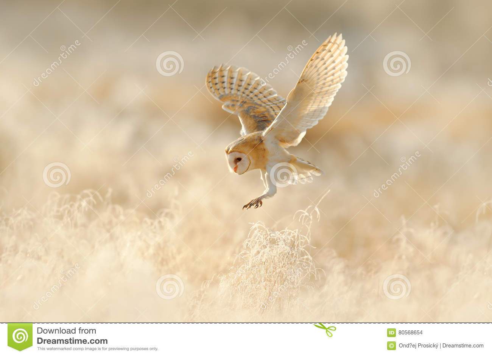 Voo da coruja Coruja de celeiro da caça, pássaro selvagem na luz agradável da manhã Animal bonito no habitat da natureza Aterriss