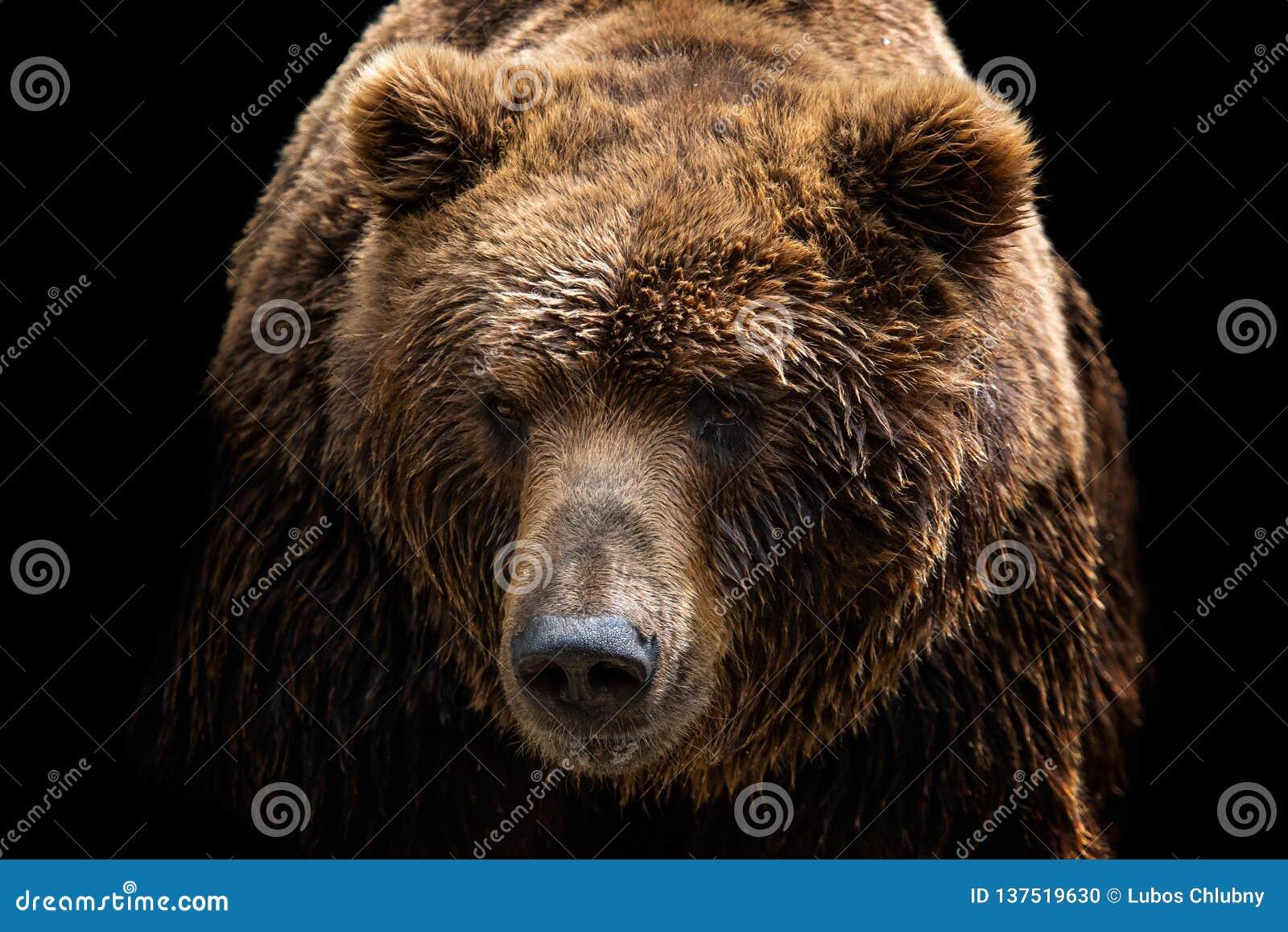 Vooraanzicht van bruine die beer op zwarte achtergrond wordt geïsoleerd Het portret van Kamchatka draagt