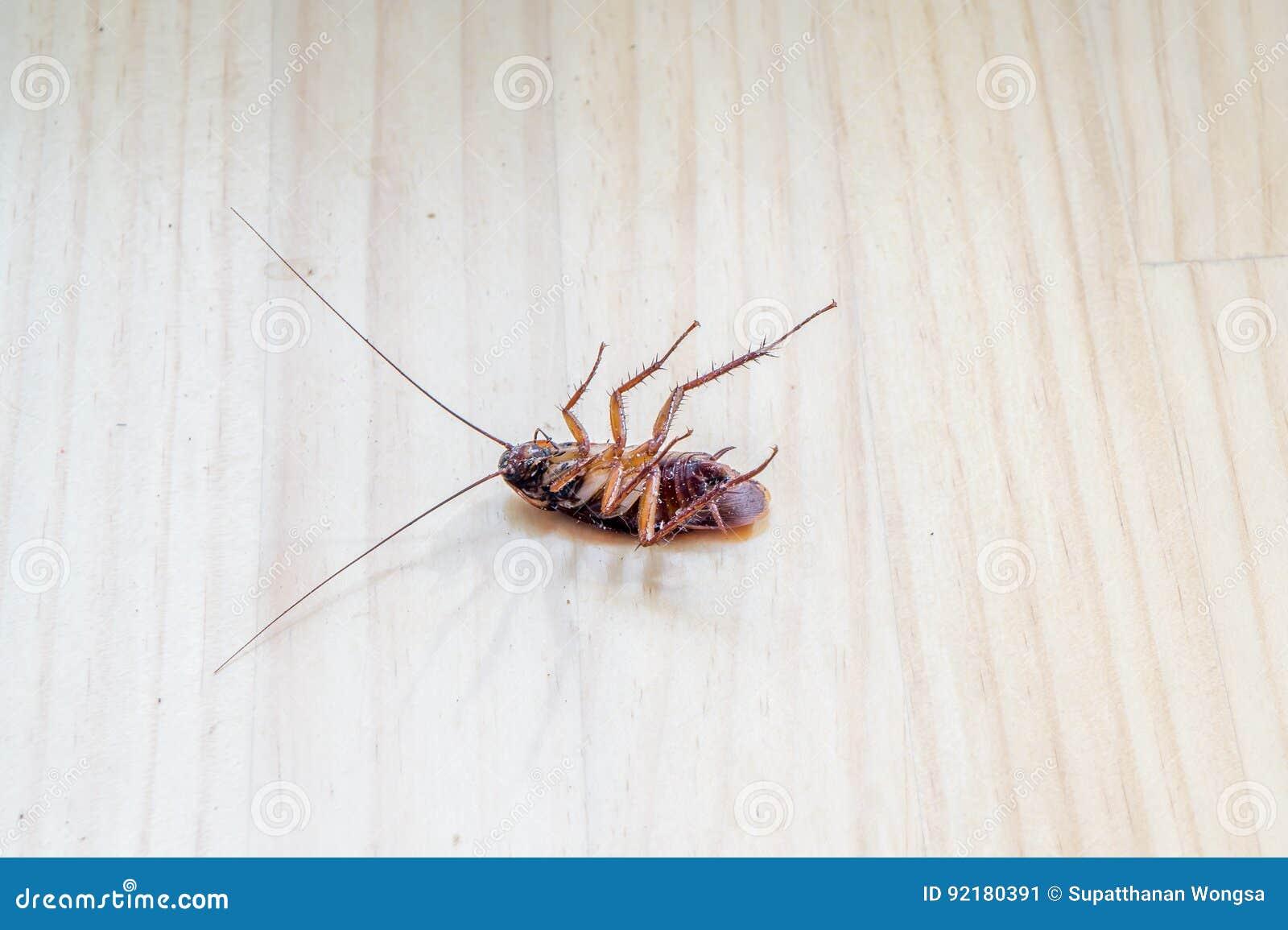Voorn dood op houten vloer voor gebruik als ongediertebestrijdingsconcept