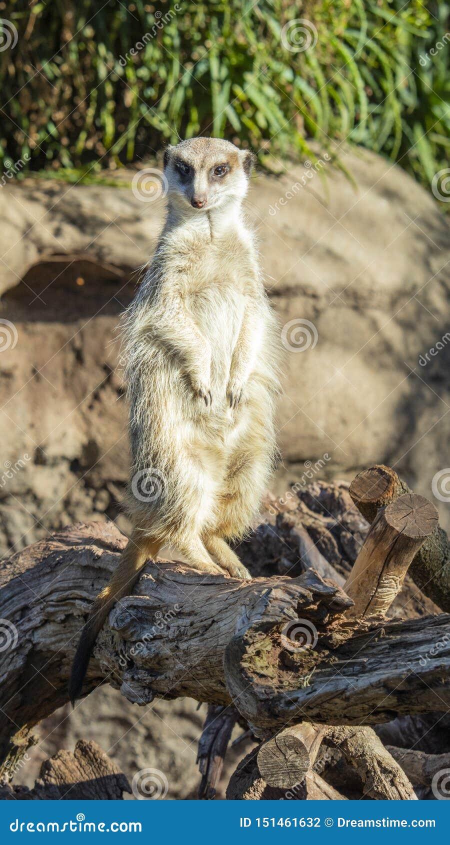 Voorzijde op dichte omhooggaand van een meerkat