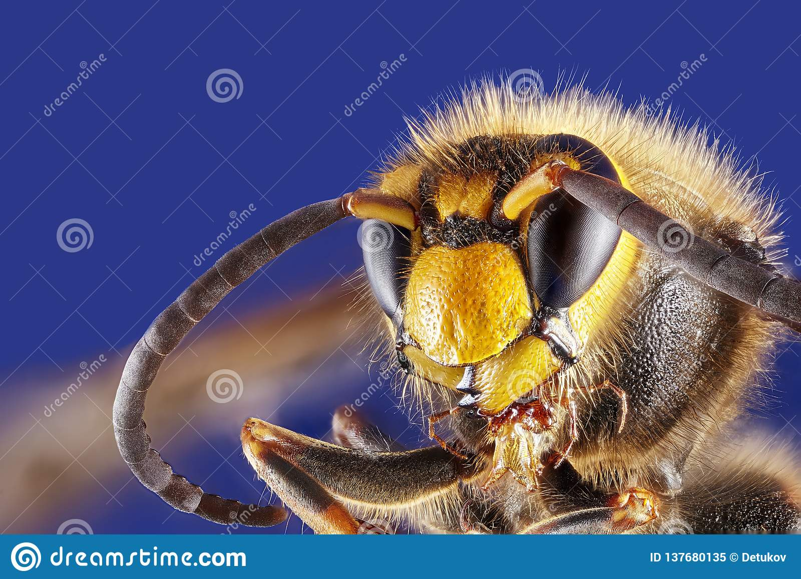 Vorderansicht der Wespe über weißen Hintergrund, Makronahaufnahme