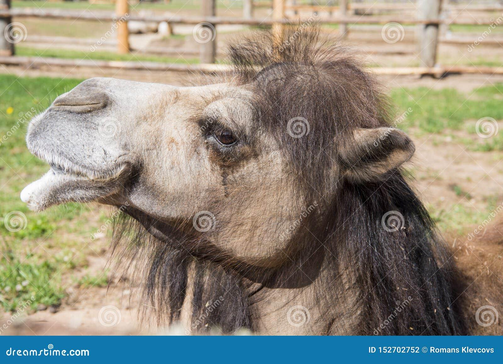 Vorderansicht des sitzenden Bodens des gekrümmten Kamels zwei