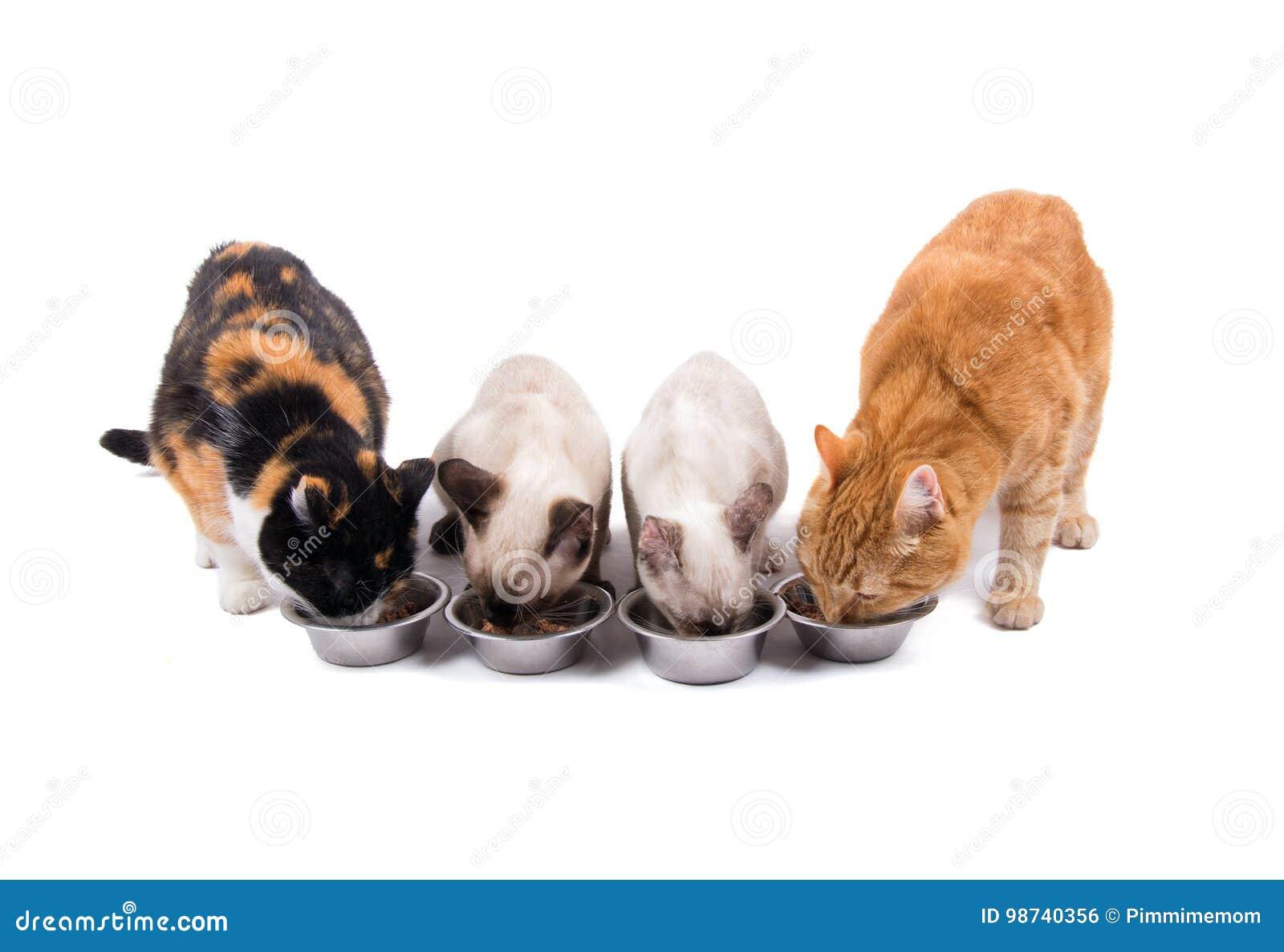 Vorderansicht von vier Katzen, Erwachsene und Kätzchen, essend