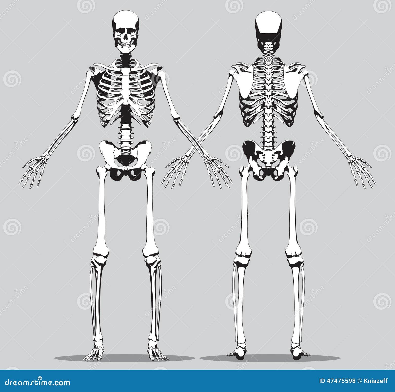 Vordere Und Hintere Ansicht Eines Menschlichen Skeletts Vektor ...