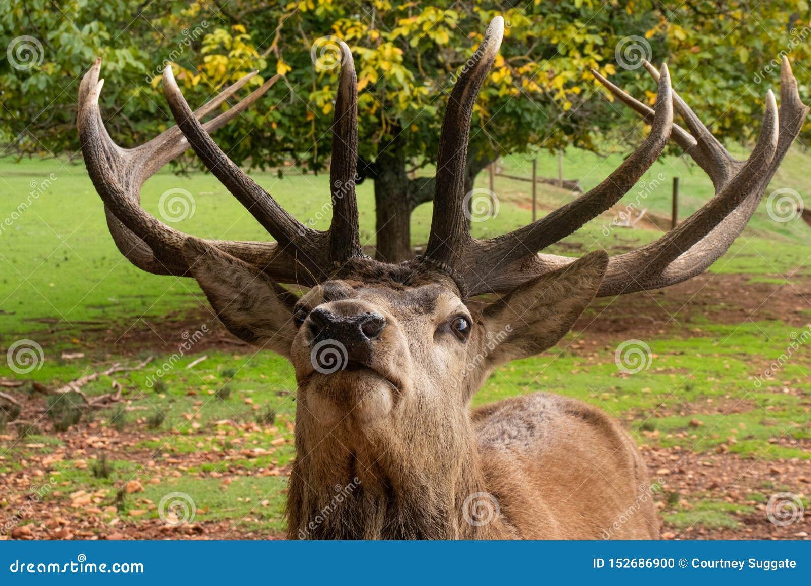 Vorderes Profil des Hirsches große Hörner anzeigend