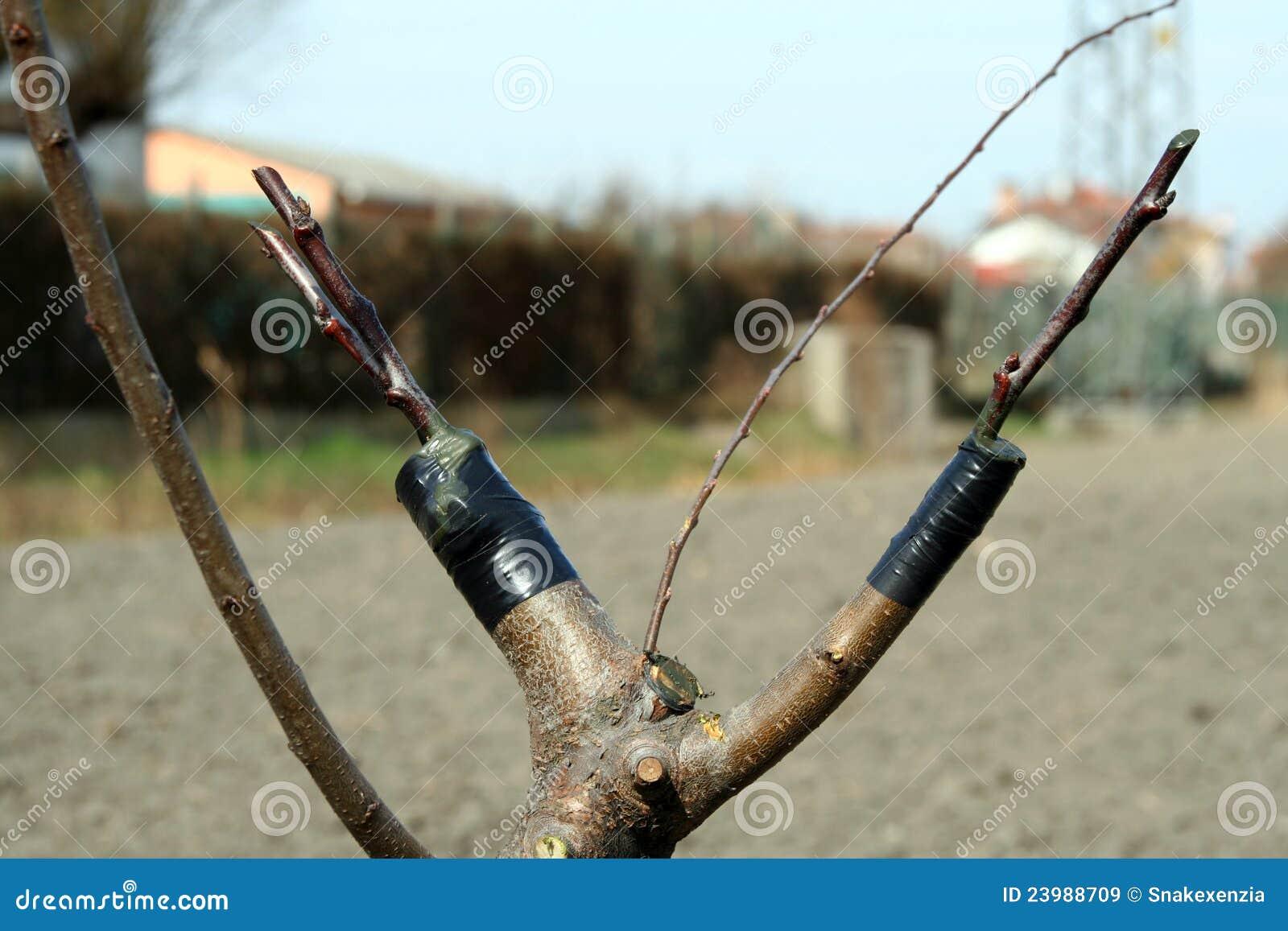 Vorhängerbaum