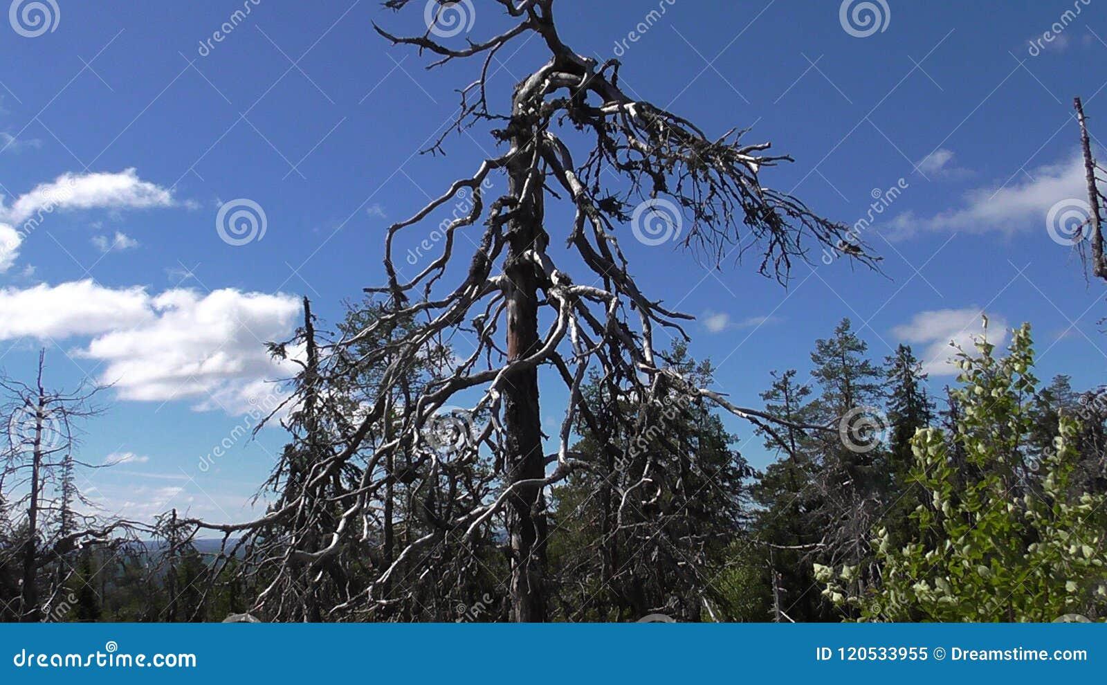 Vottovaara Karelia - fult träd